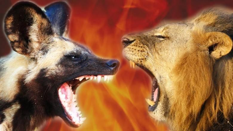 Menjadi Anjing atau Singa?